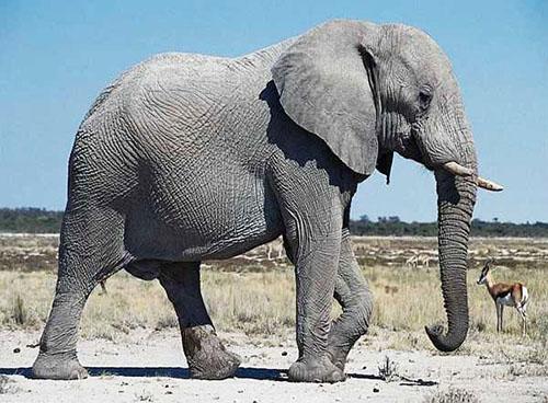 Картинки по запросу фото слон задом